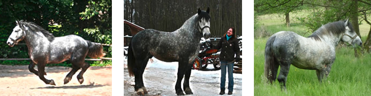 percheron-flunkerhof.jpg